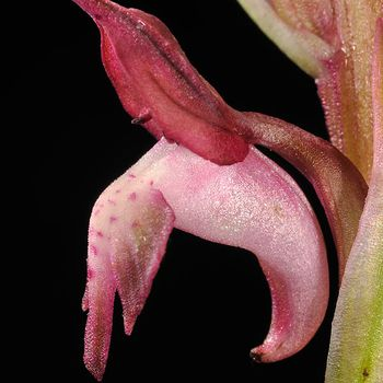 Anacamptis coriophora