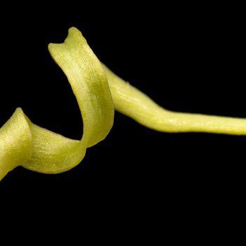 Himantoglossum