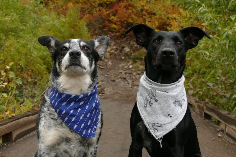 Two dogs wearing bandanas