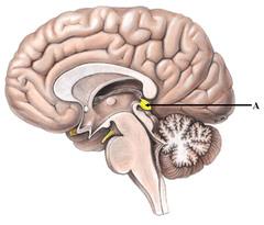 AP Psychology Exam - Brain Anatomy/Functions