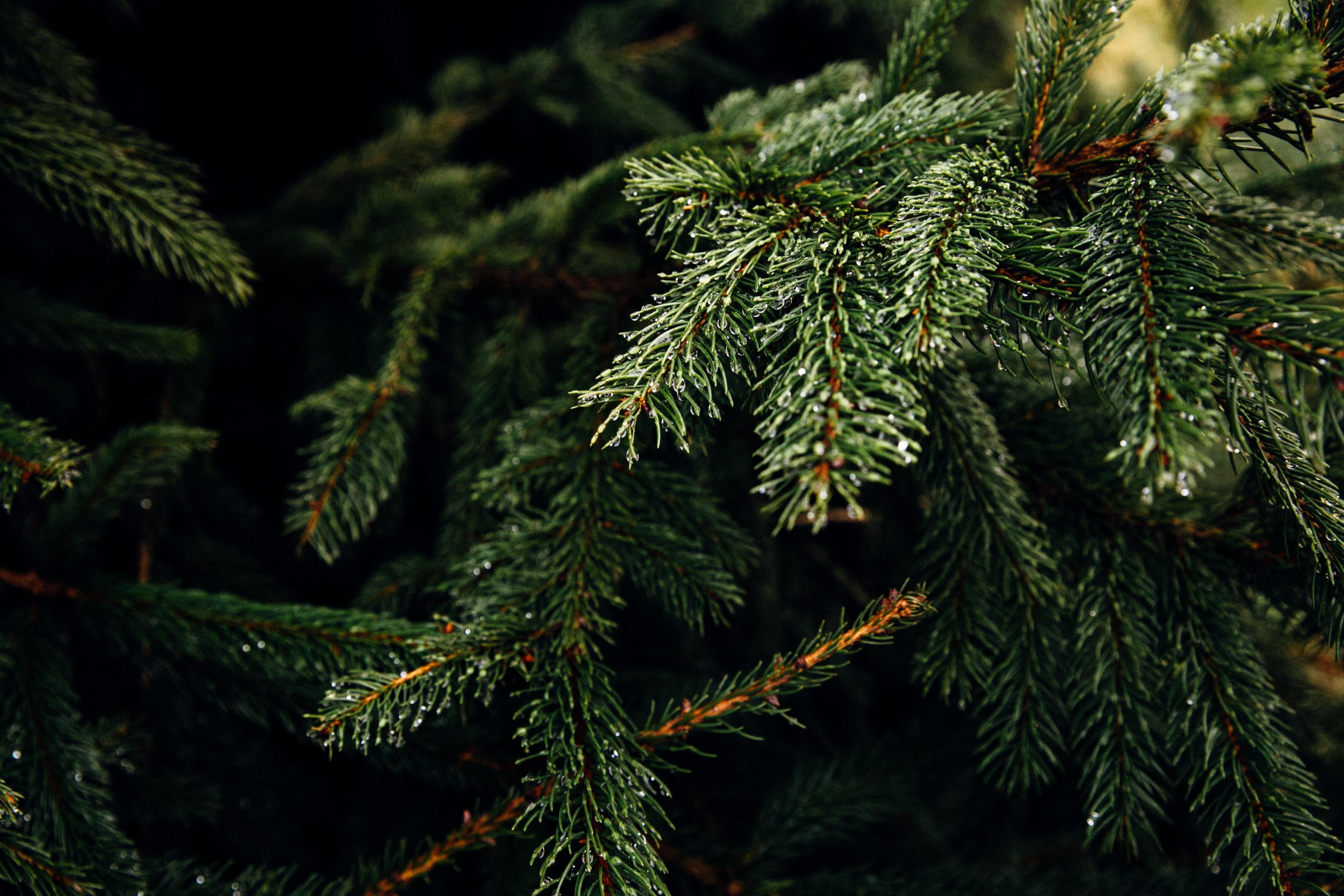 Cheltenham Christmas Trees