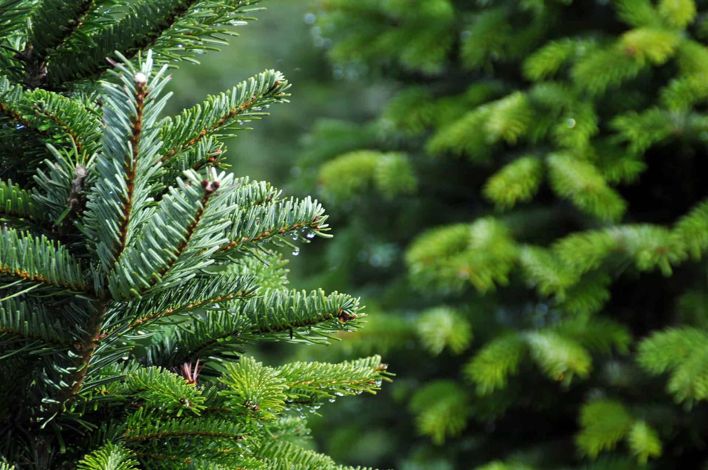 Mendip Outdoor Pursuits Christmas Trees