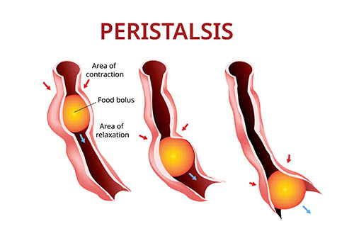 Peristalsis
