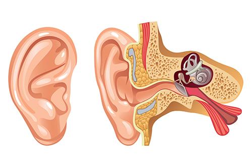 Image of anatomy of ear