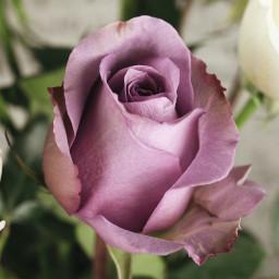 A beautiful lavender rose