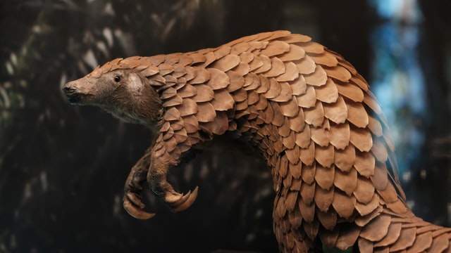 A pangolin - a scaly anteater-like mammal with large curved claws.