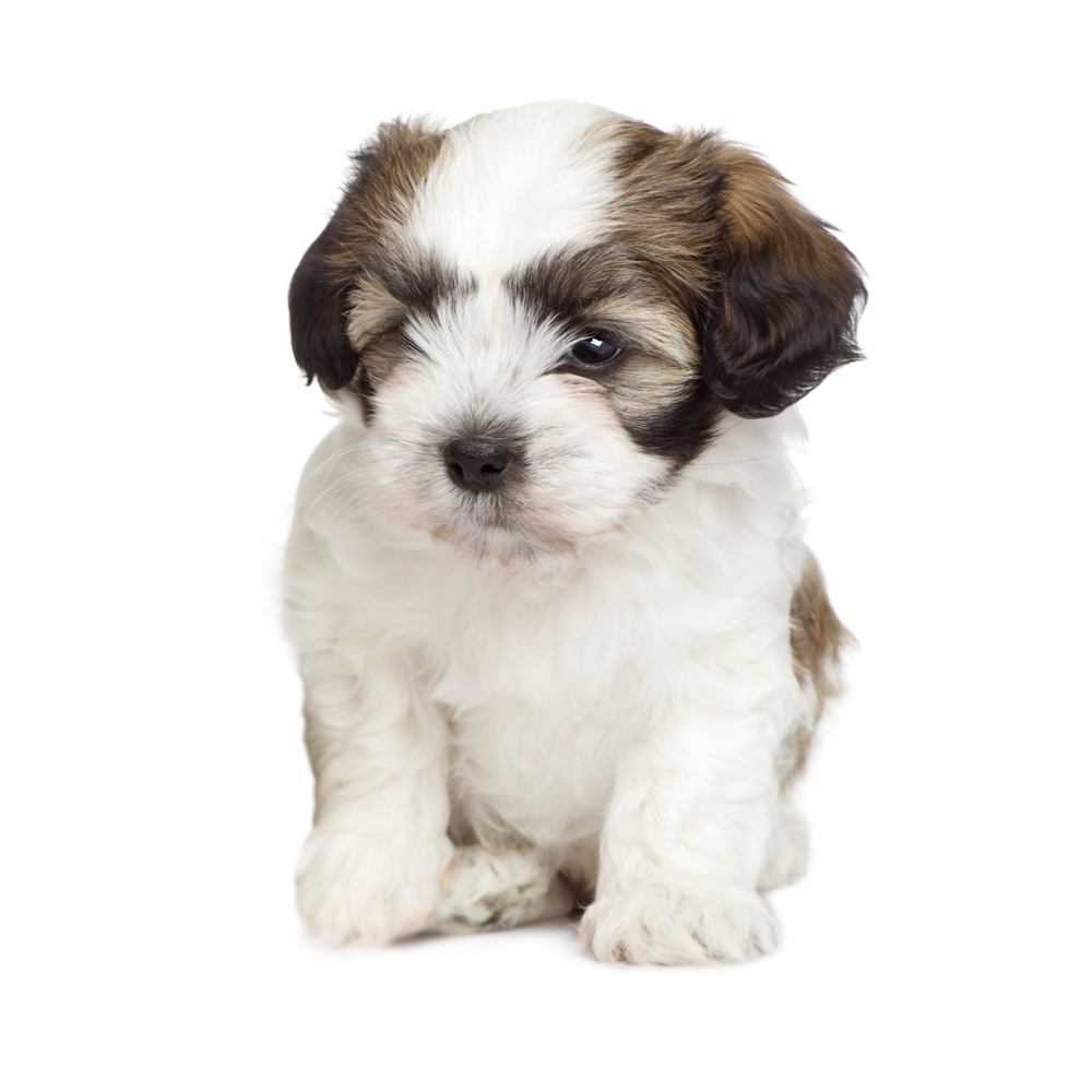 Teddy Bear Puppies Dogs For Sale In Wyoming