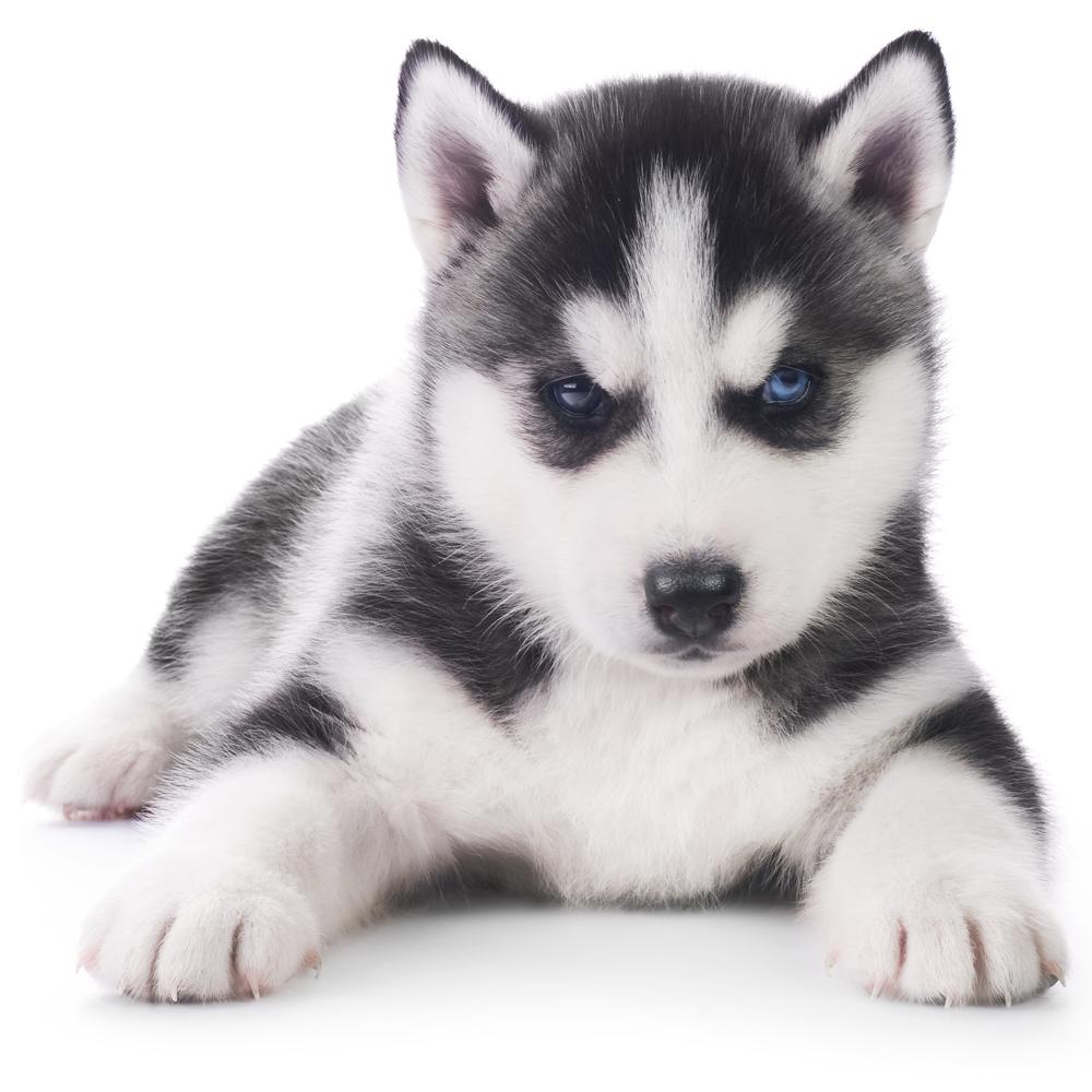Best Puppy Husky For Sale In Czechia