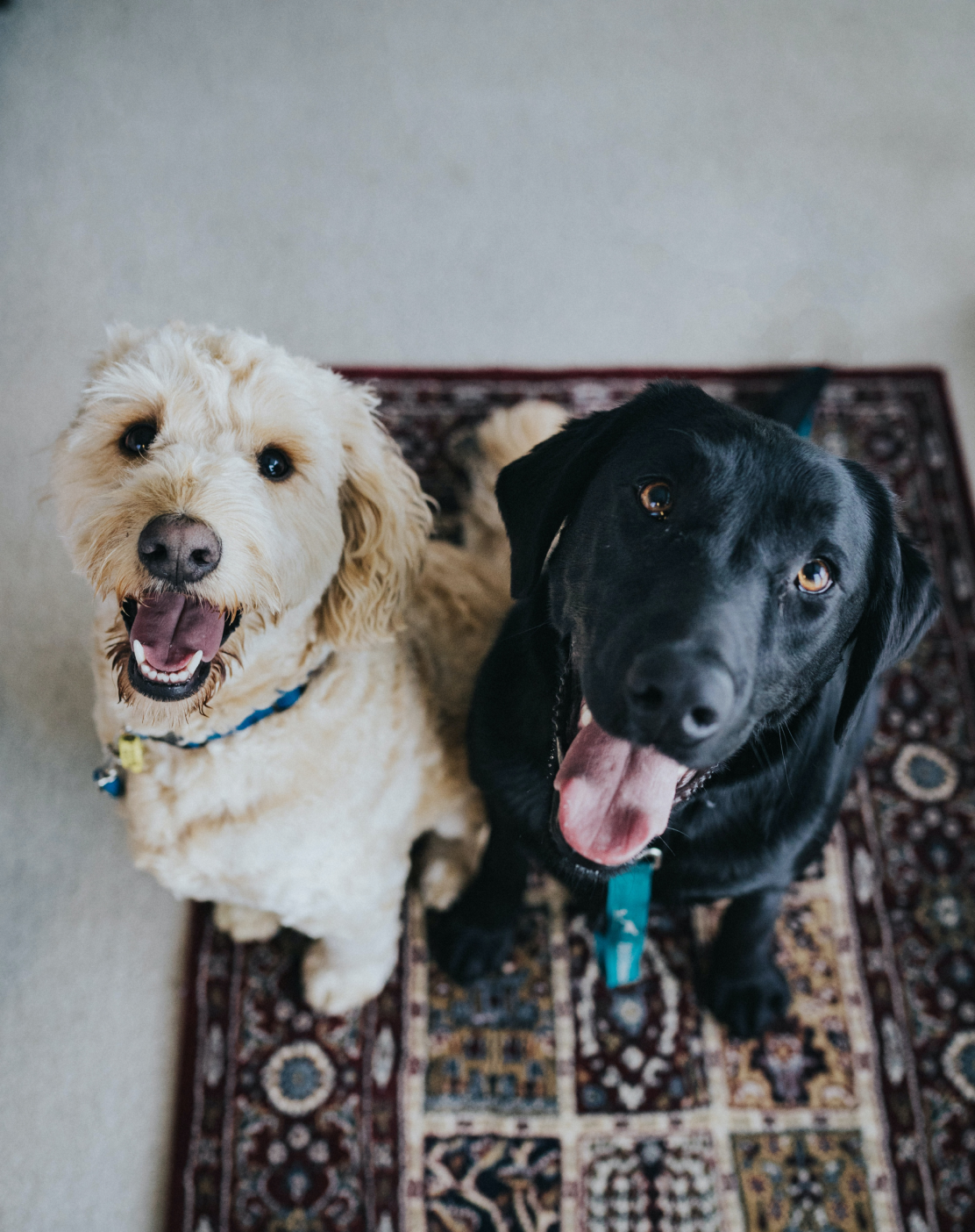 Two dogs sitting on a carpet with their tongues out looking at the camera