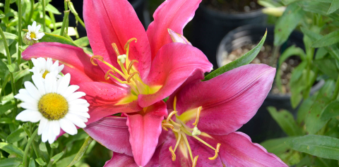 A close-up of pink lilies and small, white flowers