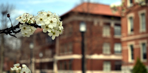 A close-up of white flowers with campus buildings in the background