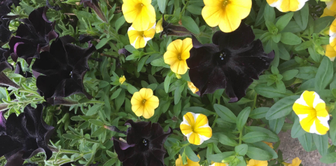 A close-up of black and gold flowers on campus
