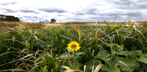 A sunflower peeks out of a test plot of cover crops at the Northeast Purdue Agricultural Center
