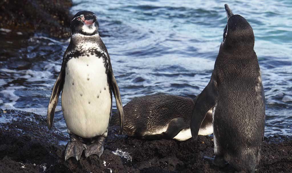 Bartolome island | Galapagos Penguins