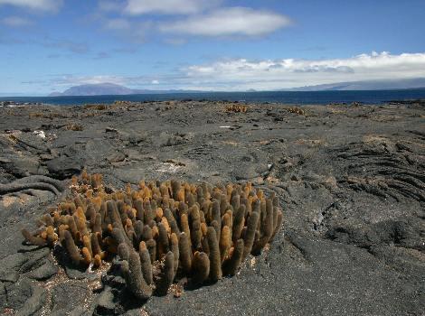 Lava Cactus Galapagos