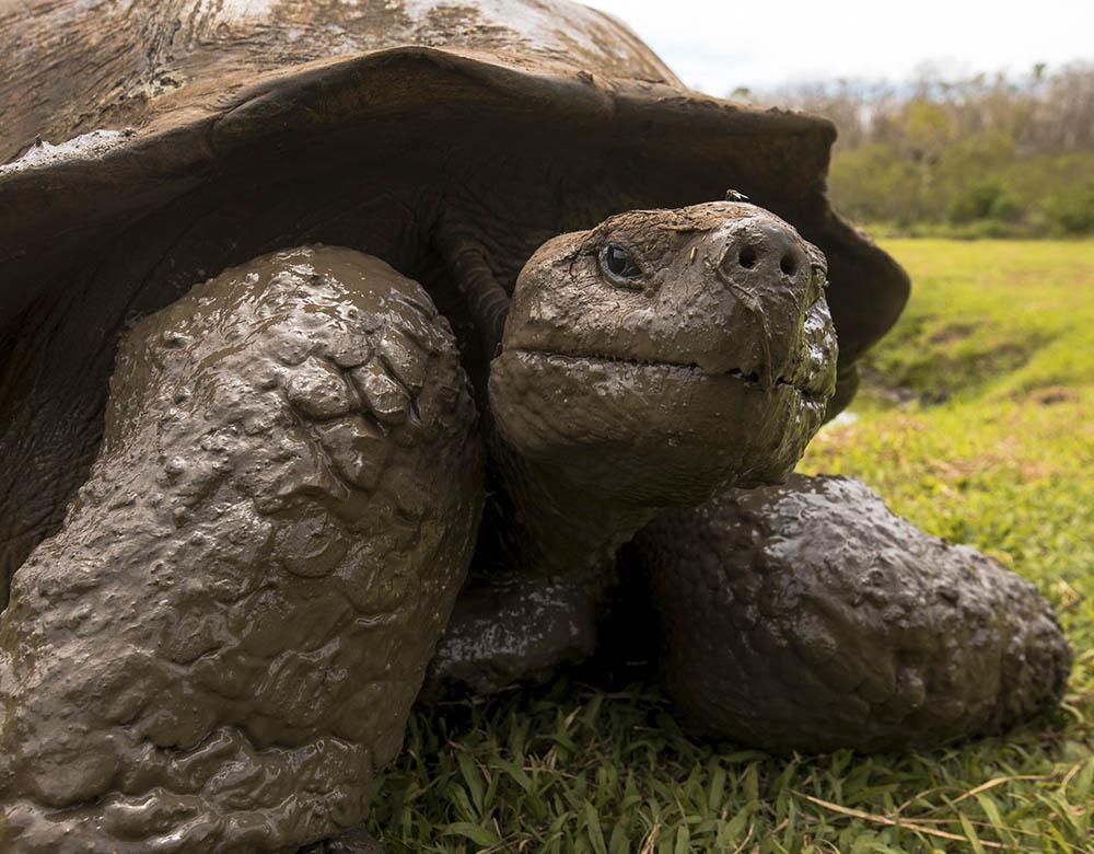 Galapagos tortoise | Galapagos
