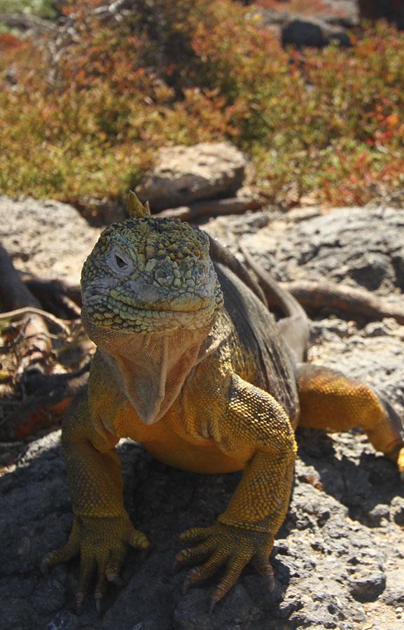 Land Iguana Santa Fe Island