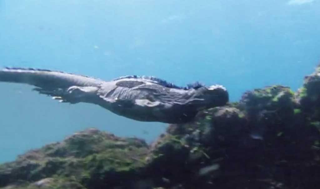 Marine iguanas | Galapagos