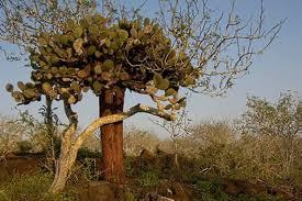 Opuntia Cactaceae galapagos