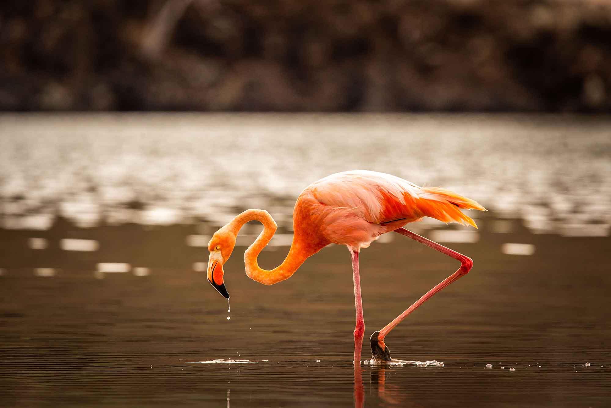 Flamingo   Galapagos islands