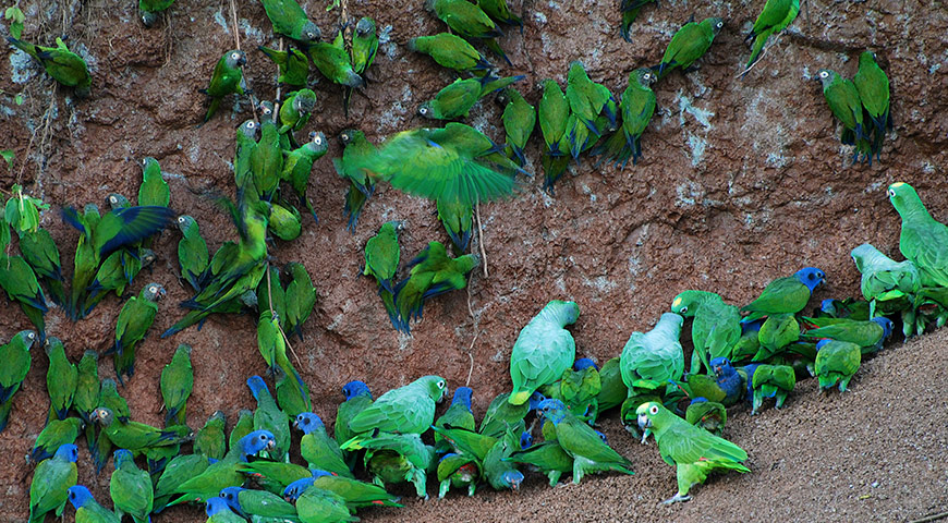 Clay Licking Parrots | Ecuador