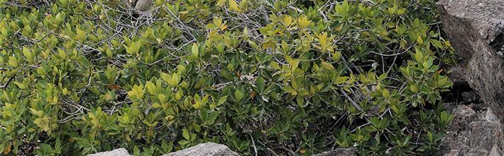 Black mangrove