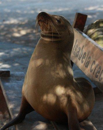 fur seal galapagos