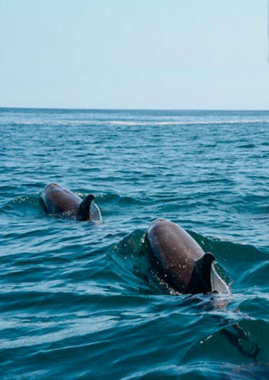 Dolphins Mompiche
