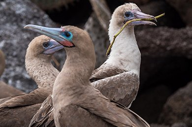 Galapagos cormorant