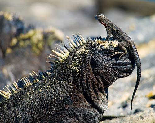 reptiles galapagos