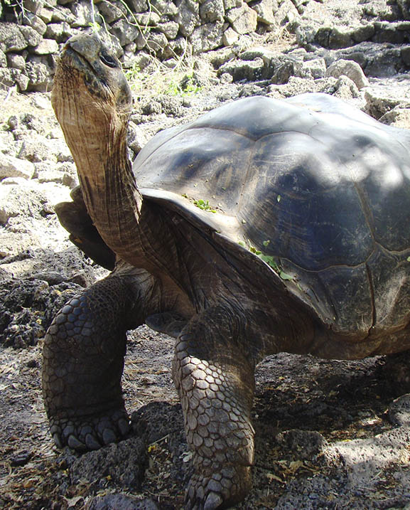 Galapagos to San Francisco: A giant tortoise journey Voyagers Travel Specialists
