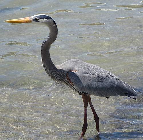 heron galapagos