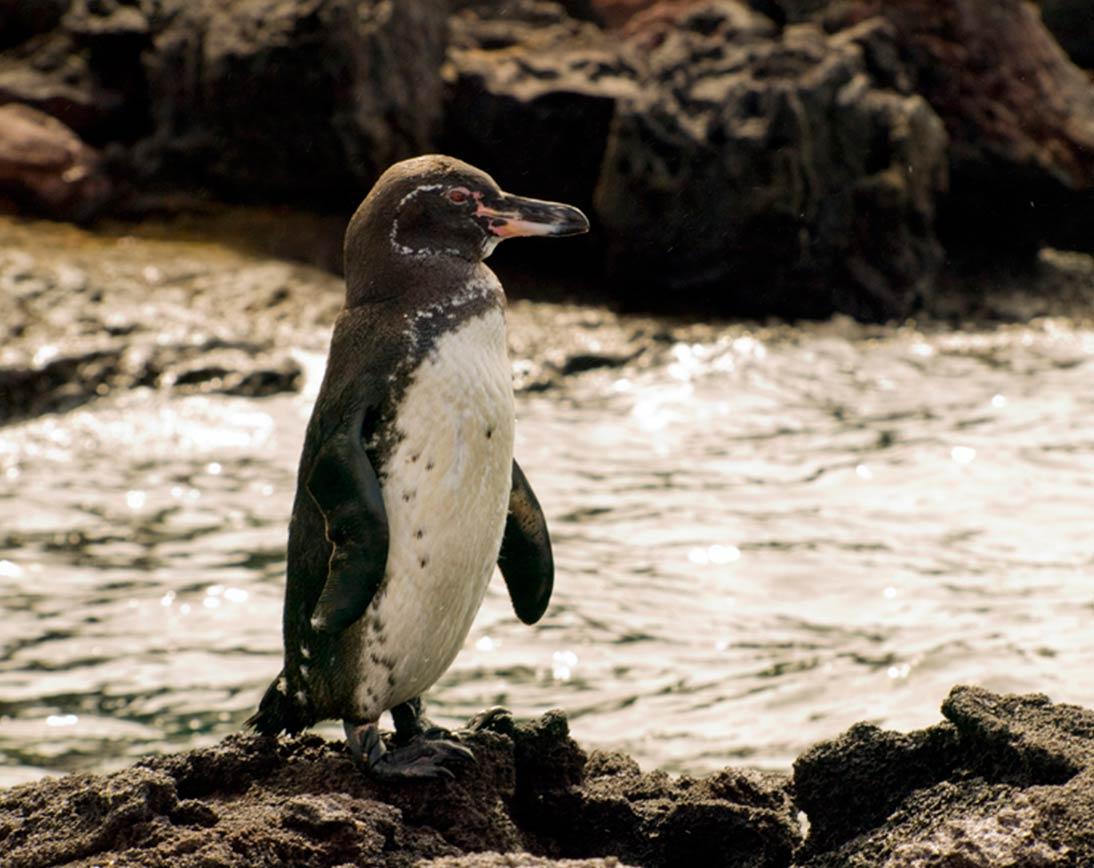 galapagos peguin
