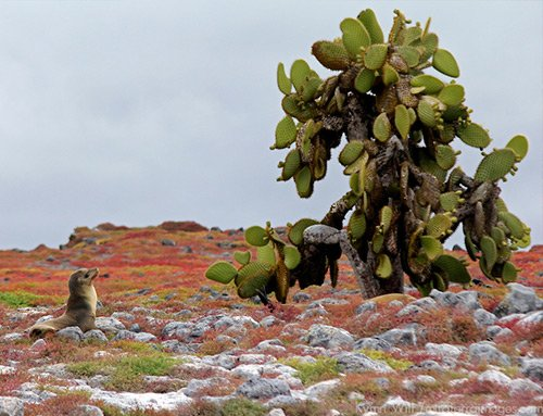 Prickly pear cactus Galapagos