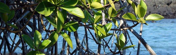 Red mangrove Galapagos