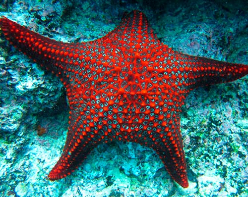 sea star galapagos