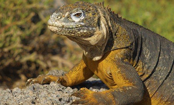 Galapagos Reptils | Land Iguanas