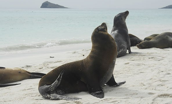 Fur seals and sea lions in Galapagos