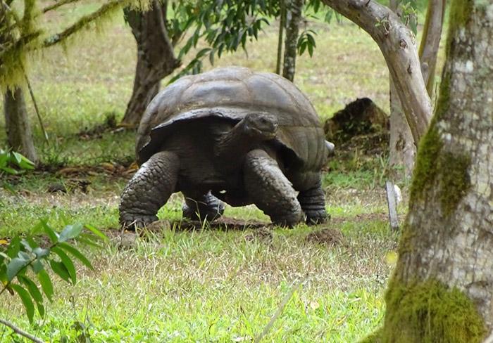 Galapagos Giant Tortoise | Galapagos