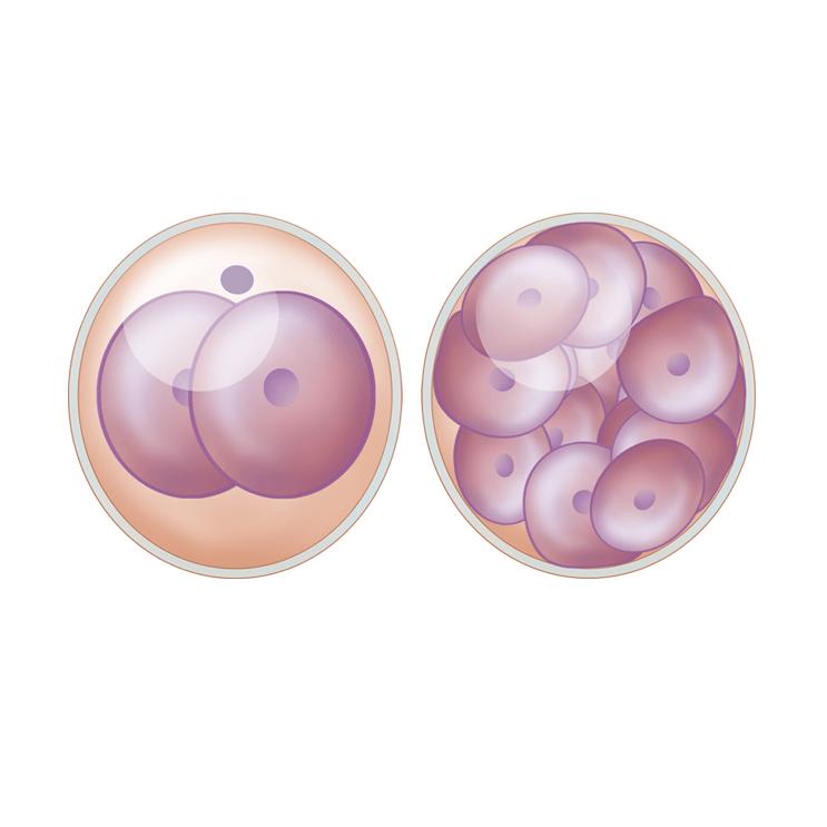 怀孕,第 1-3 周