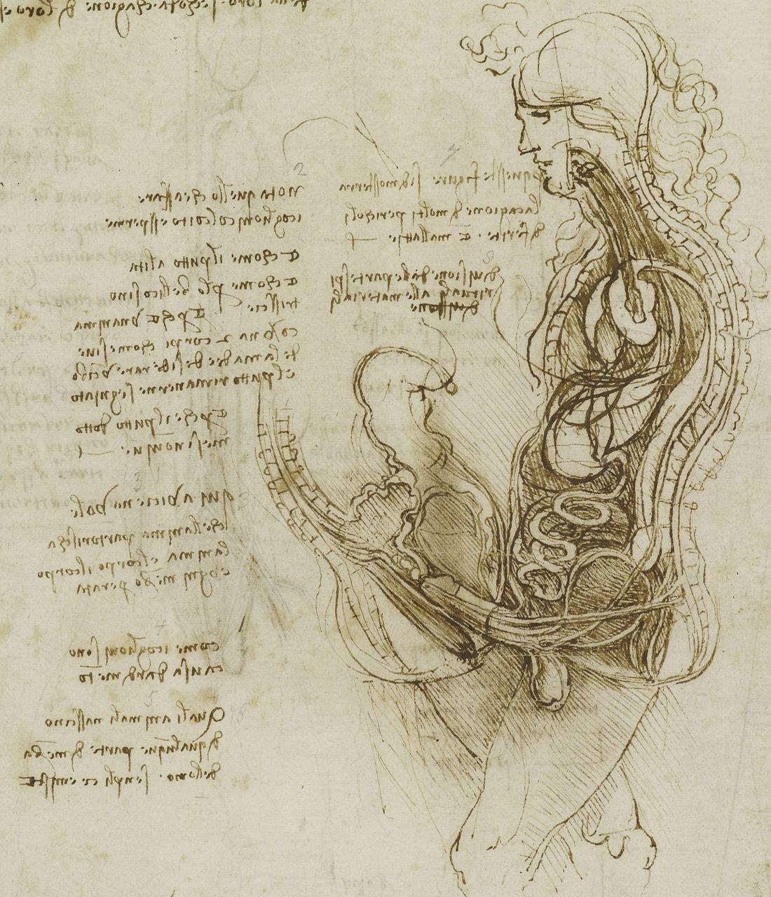 Studies on human anatomy Preview 3