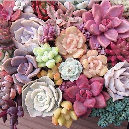 lillihues