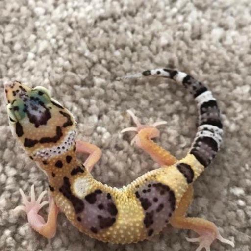 Pastel Tremper Gecko