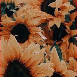 Simply sunflower 🌻
