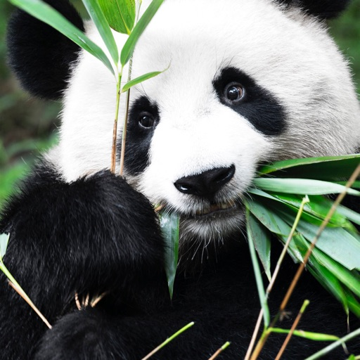 panda paff