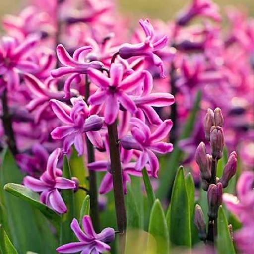 Summer_Hyacinth