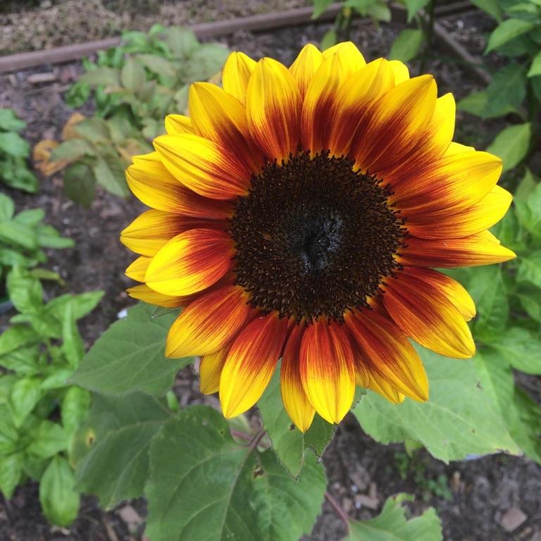 🎨🌻 Sunflower 🌻🎨
