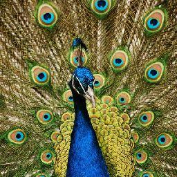 Peacock Lover !