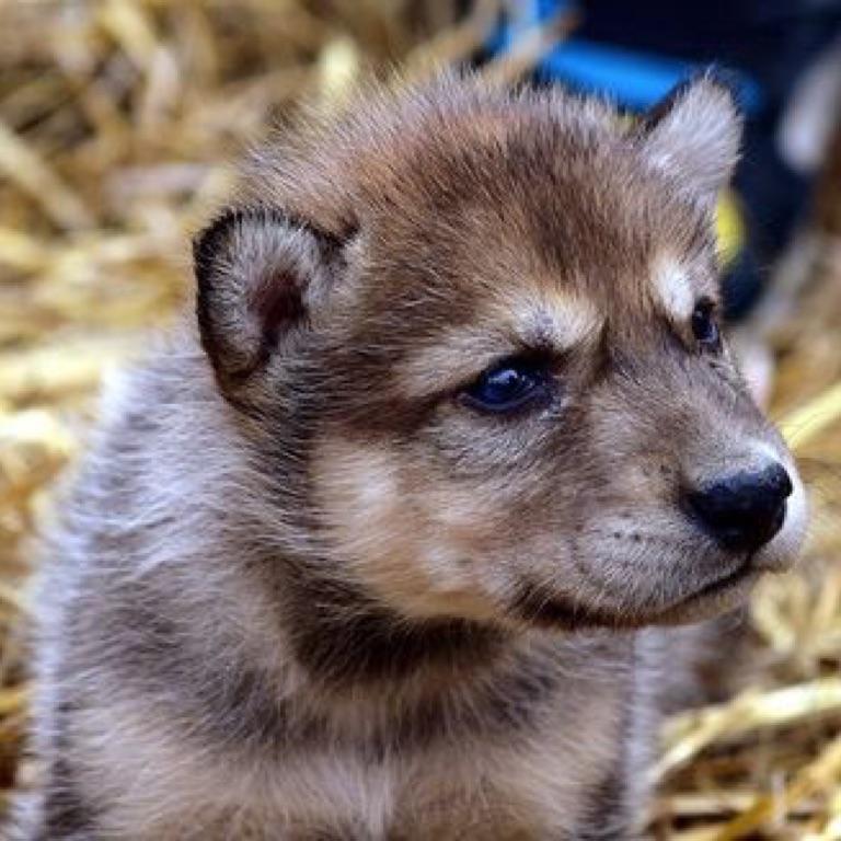 Wolfie.J