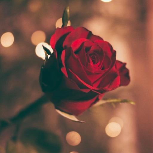 ꧁*。゚Red Rose *。゚꧂